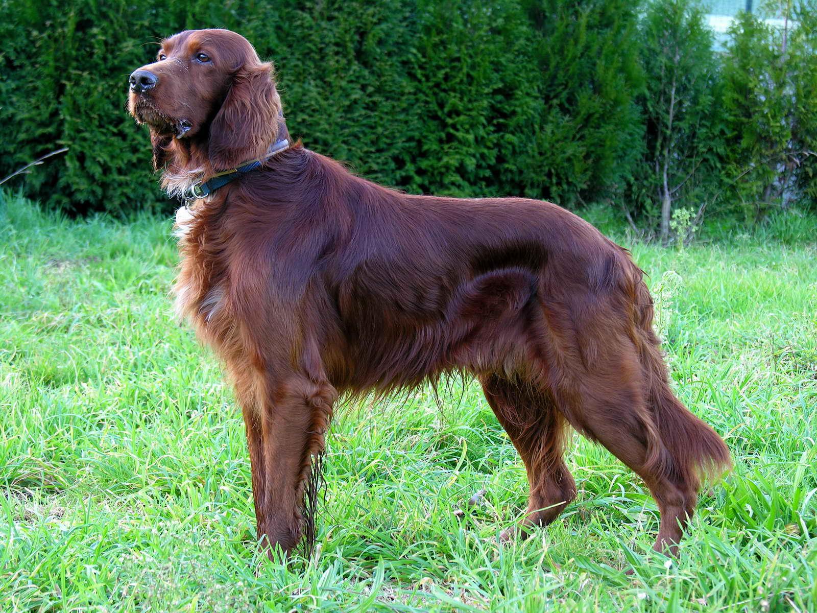 Irish Setter dog on the grass wallpaper