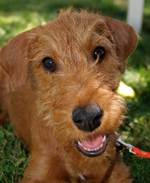 Irish Terrier Dog face