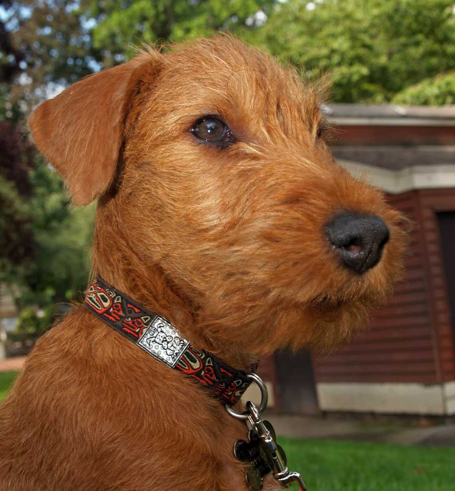 Irish Terrier Dog wallpaper