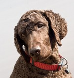 Irish Water Spaniel dog face