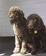 Irish Water Spaniel dogs