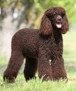 Irish Water Spaniel for a walk