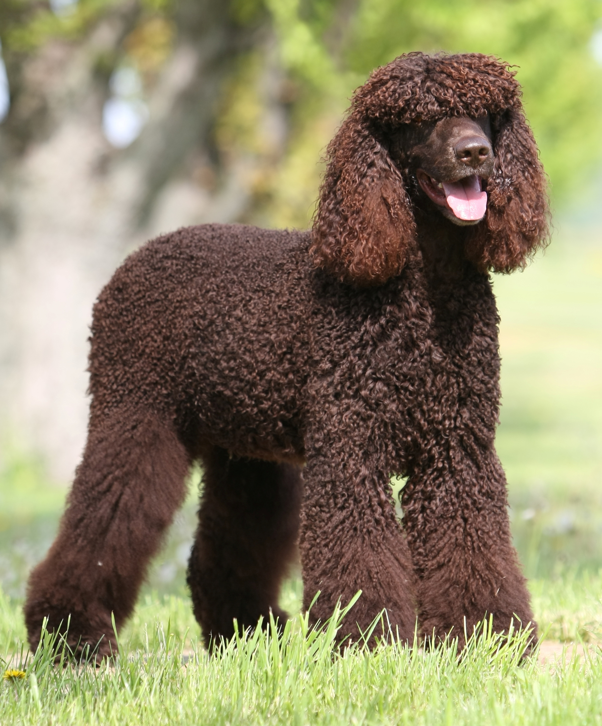 Irish Water Spaniel for a walk wallpaper