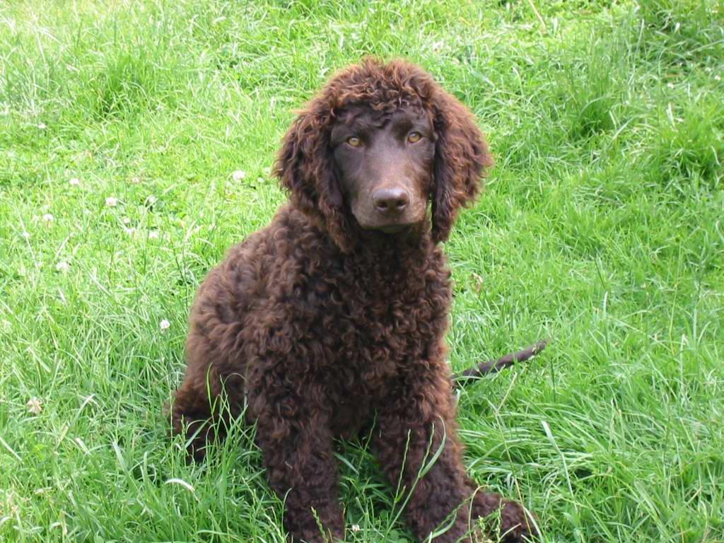 Irish Water Spaniel on the grass wallpaper
