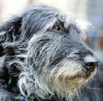 Irish Wolfhound dog face