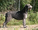 Irish Wolfhound dog in the forest