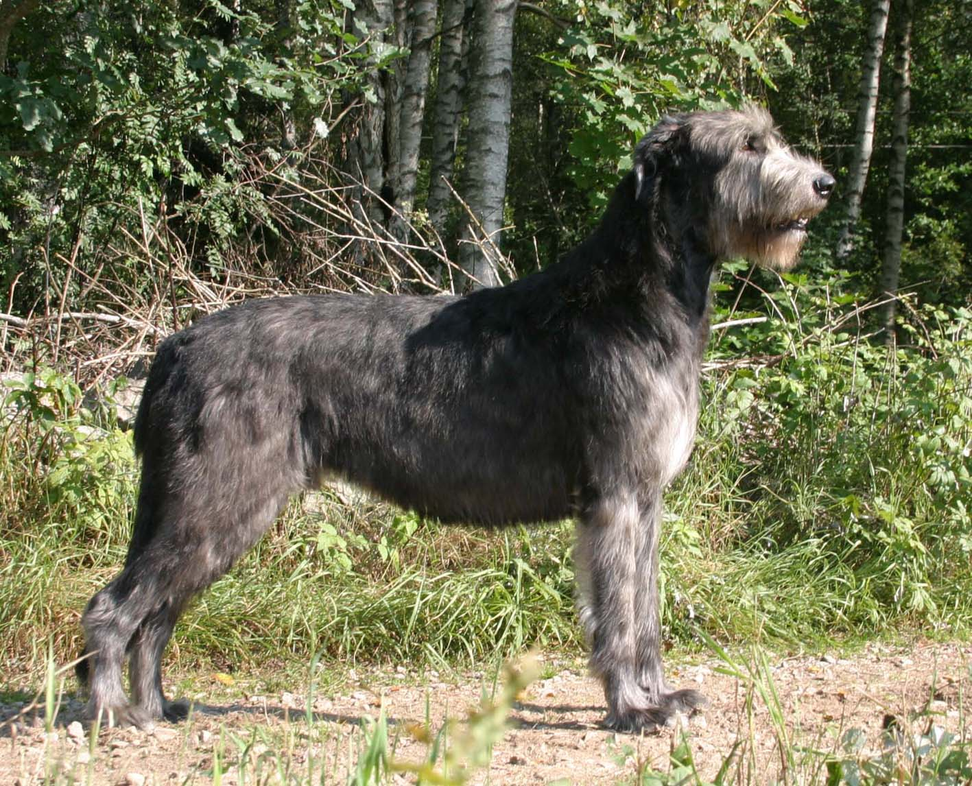 Irish Wolfhound dog in the forest wallpaper