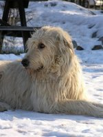 Irish Wolfhound dog in the snow