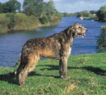 Irish Wolfhound dog near the water