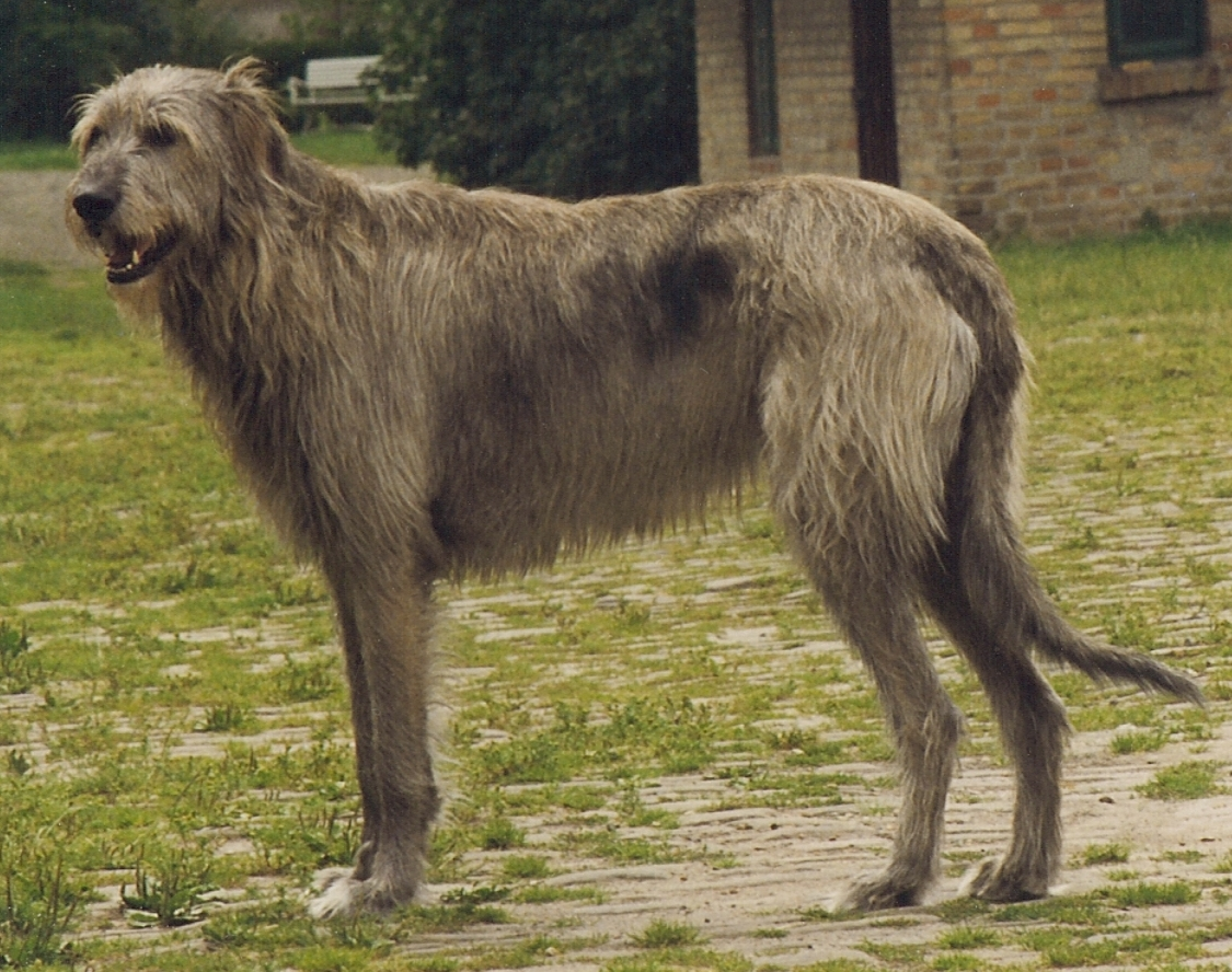 Irish Wolfhound wallpaper