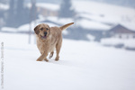 Istrian Coarse-haired Hound dog in the snow