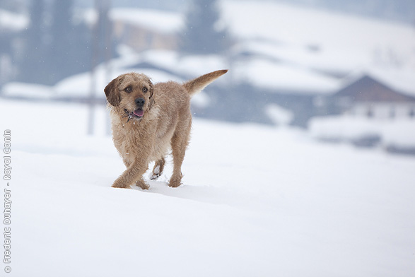 Istrian Coarse-haired Hound dog in the snow wallpaper