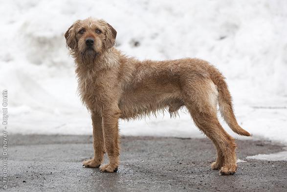 Собака истрийская жесткошерстная гончая фото