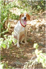Istrian Shorthaired Hound dog in the forest
