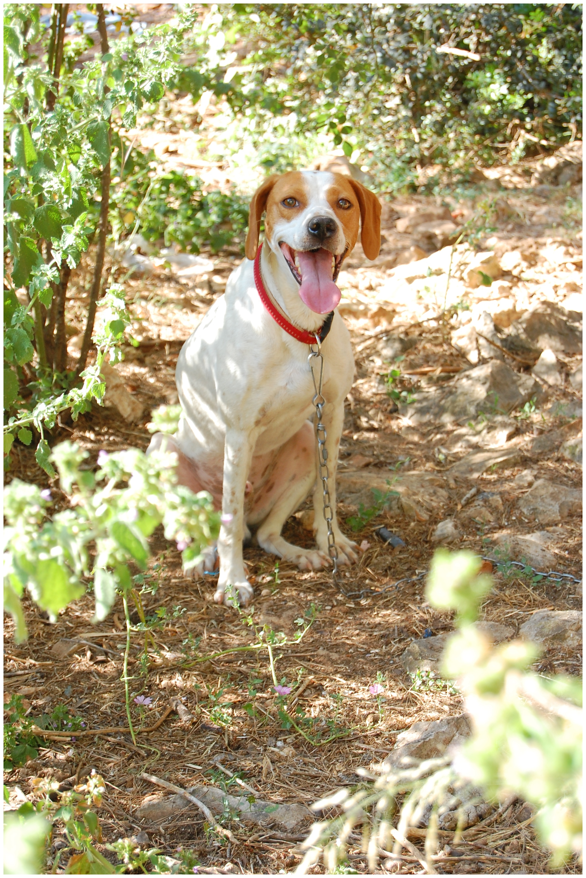 Istrian Shorthaired Hound dog in the forest wallpaper