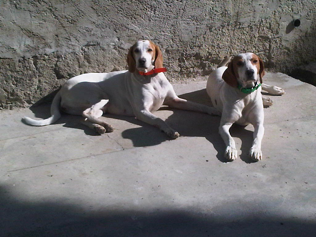 Istrian Shorthaired Hound dogs wallpaper