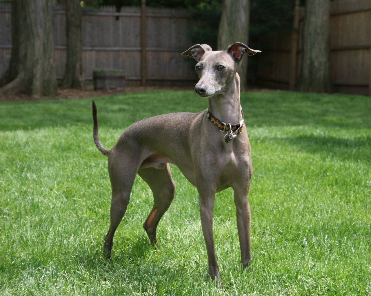 Italian Greyhound dog on the grass wallpaper