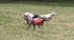 Italian Greyhound dogs in competition