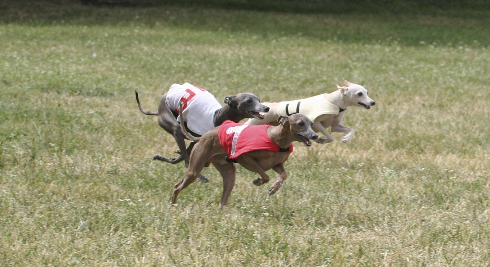 Italian Greyhound dogs in competition wallpaper