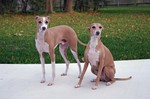 Italian Greyhound dogs