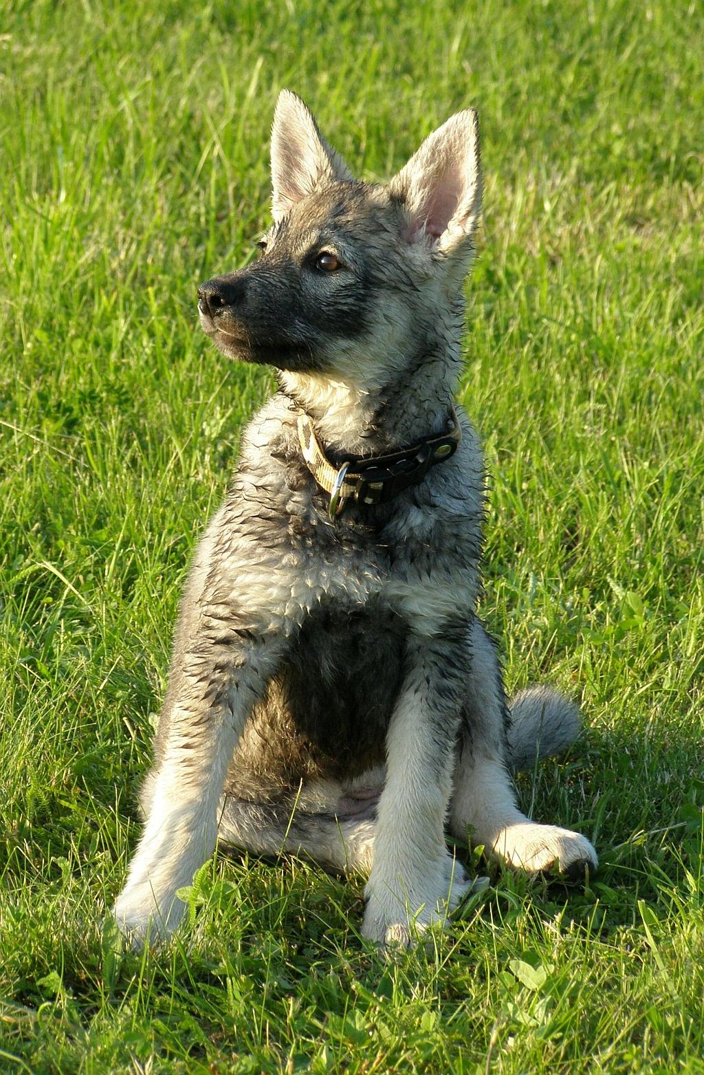 Jämthund dog on the grass wallpaper