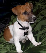 Jack Russell Terrier dog on the grass