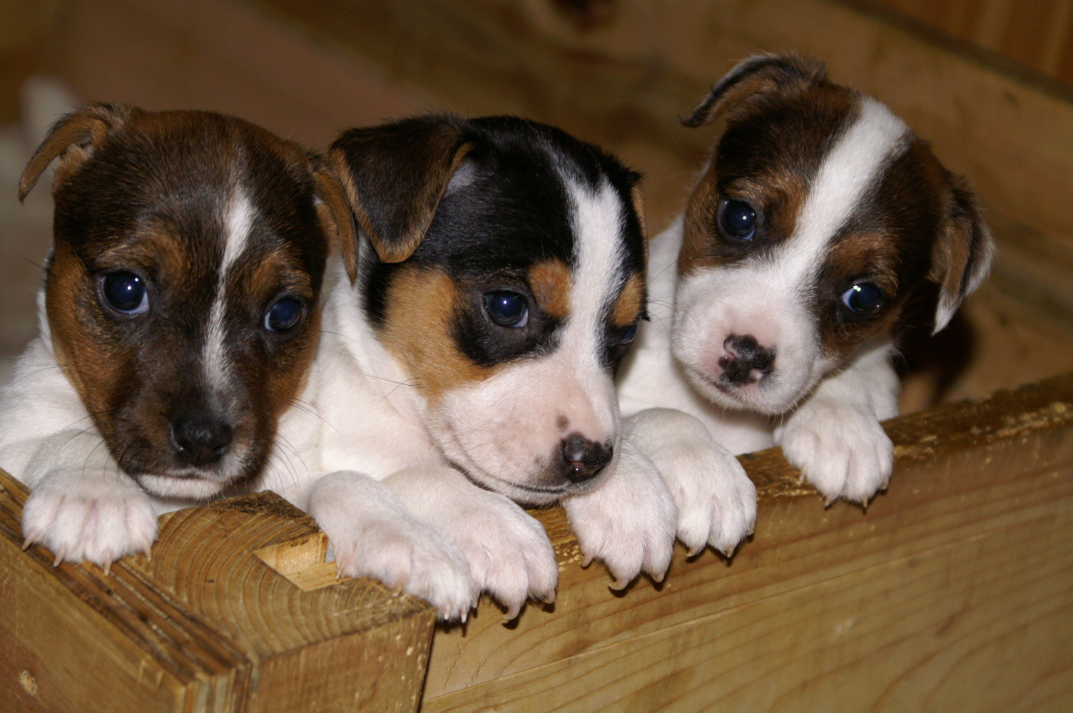 Jack Russell Terrier puppies wallpaper