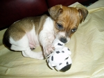 Jack Russell Terrier puppy with a ball