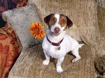 Jack Russell Terrier puppy with a flower