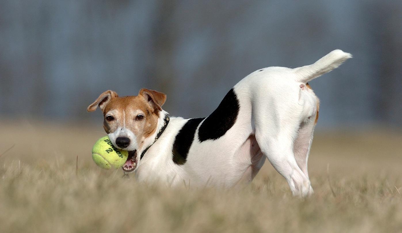 Джек-рассел-терьер с мячом фото