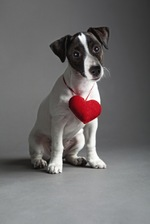 Jack Russell Terrier with heart