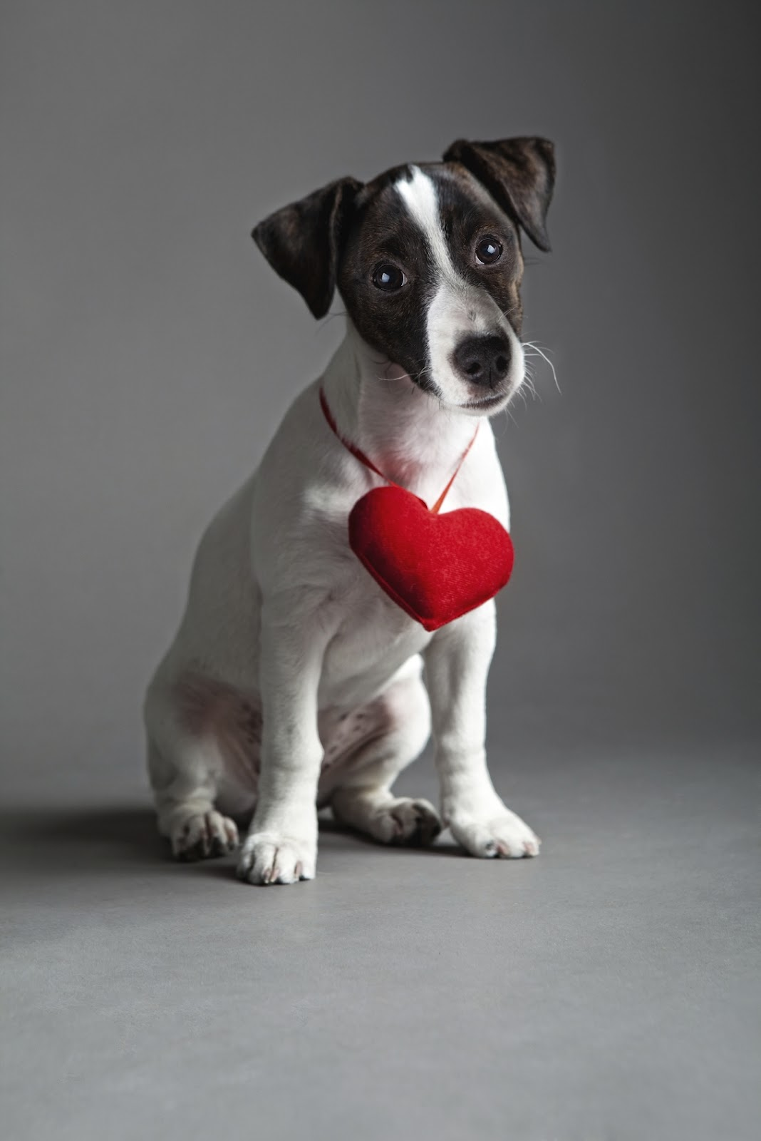 Jack Russell Terrier with heart wallpaper