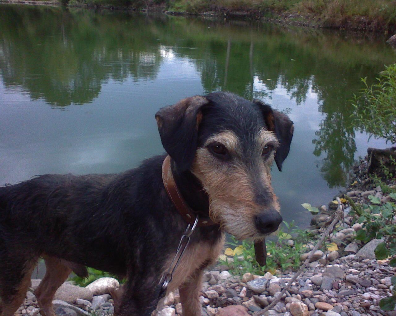 Jagdterrier dog near the water wallpaper