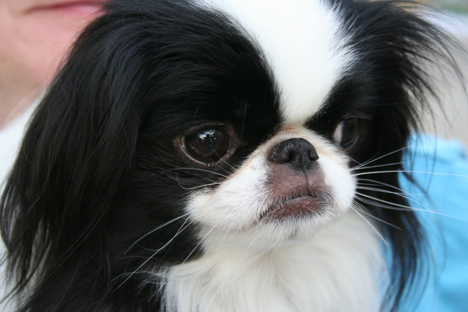 Japanese Chin dog face wallpaper