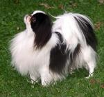 Japanese Chin dog on the grass