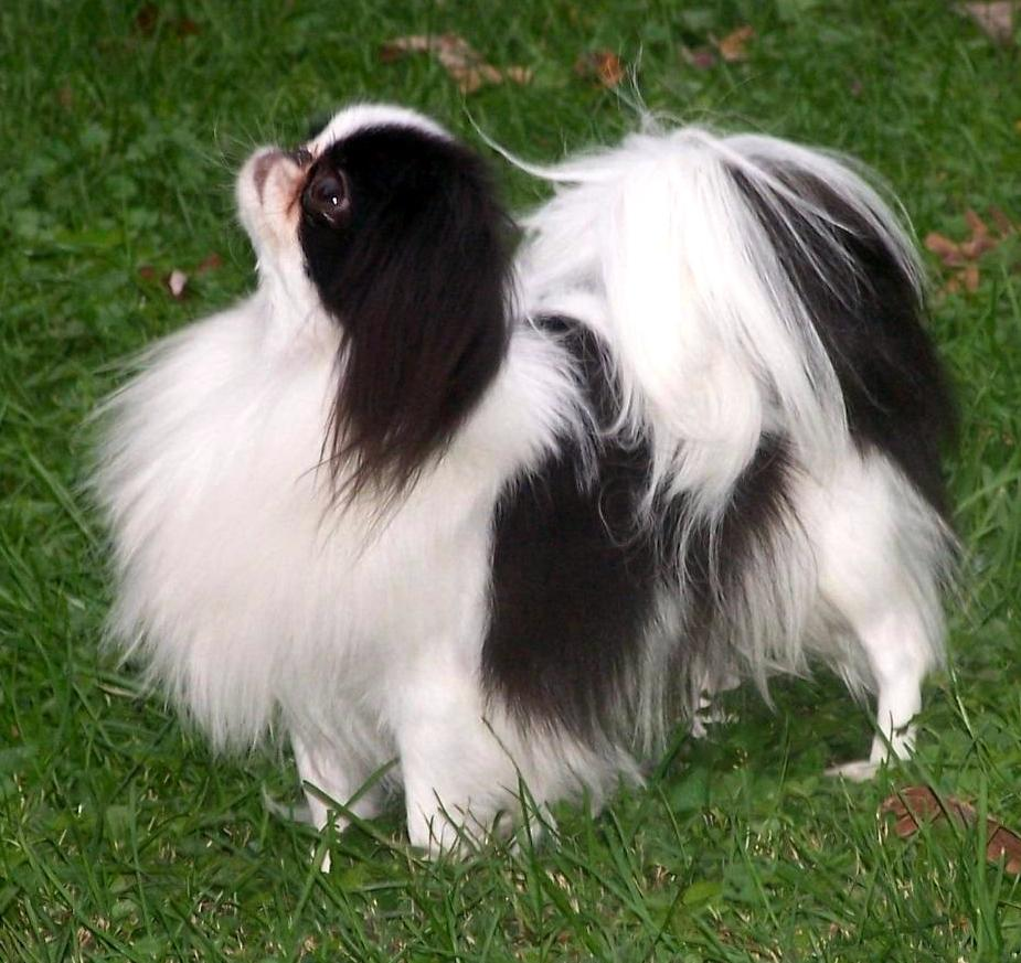 Japanese Chin dog on the grass wallpaper