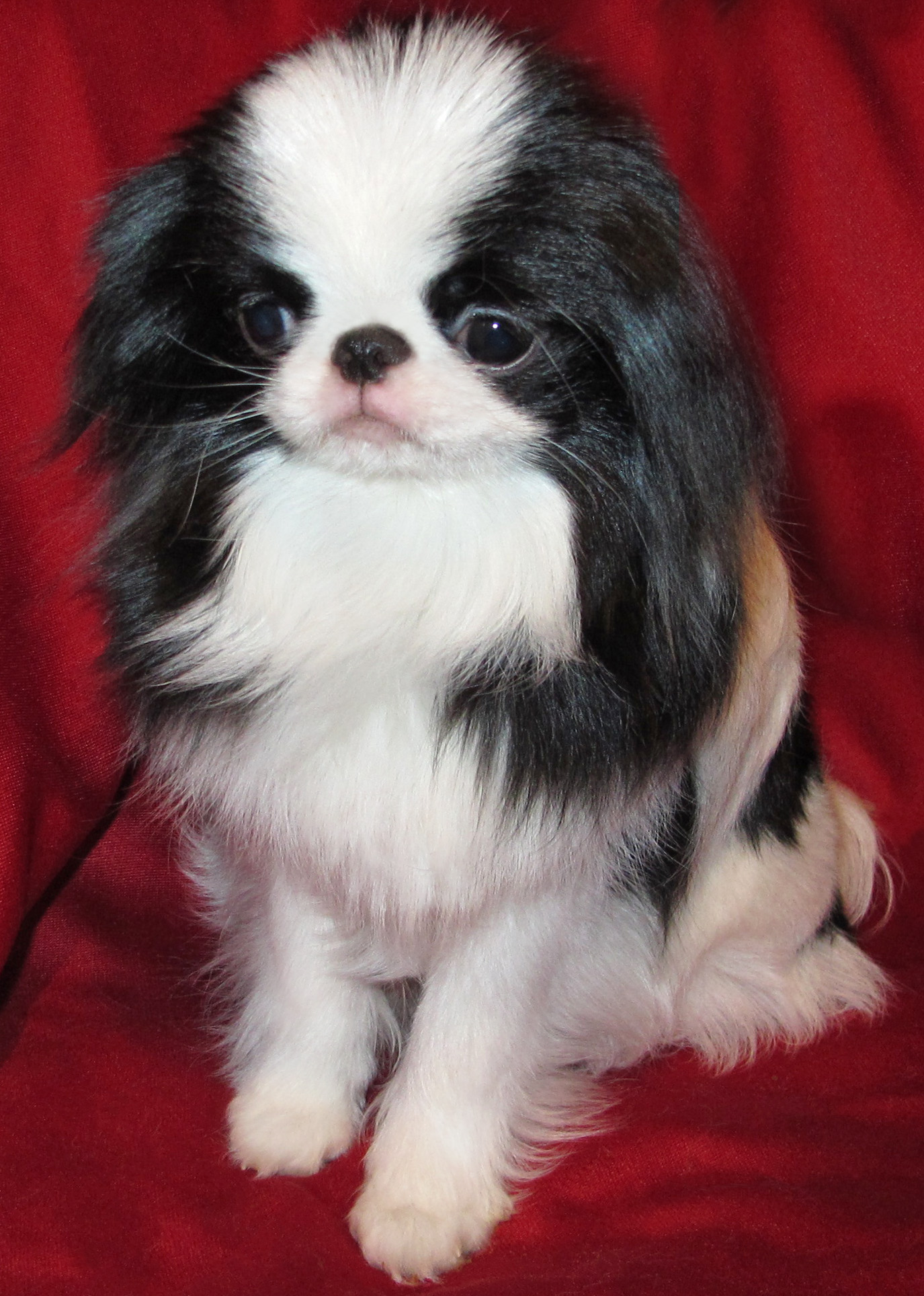 Japanese Chin dog portrait  wallpaper