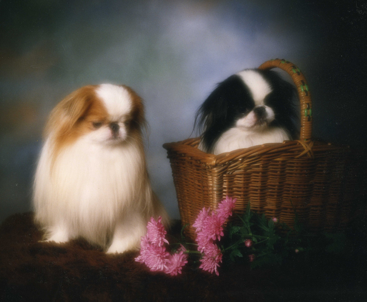 Japanese Chin dogs wallpaper
