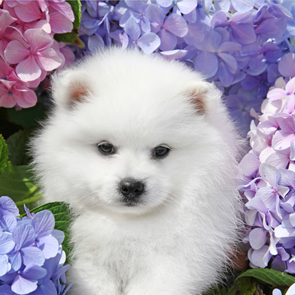 Spitz in flowers photo and wallpaper. Beautiful Japanese Spitz ...