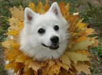 Japanese Spitz in leaves