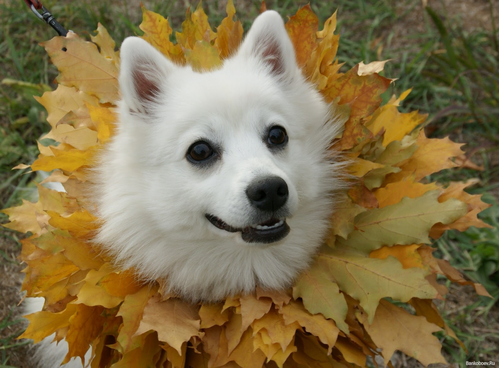 Japanese Spitz in leaves photo and wallpaper. Beautiful Japanese Spitz ...