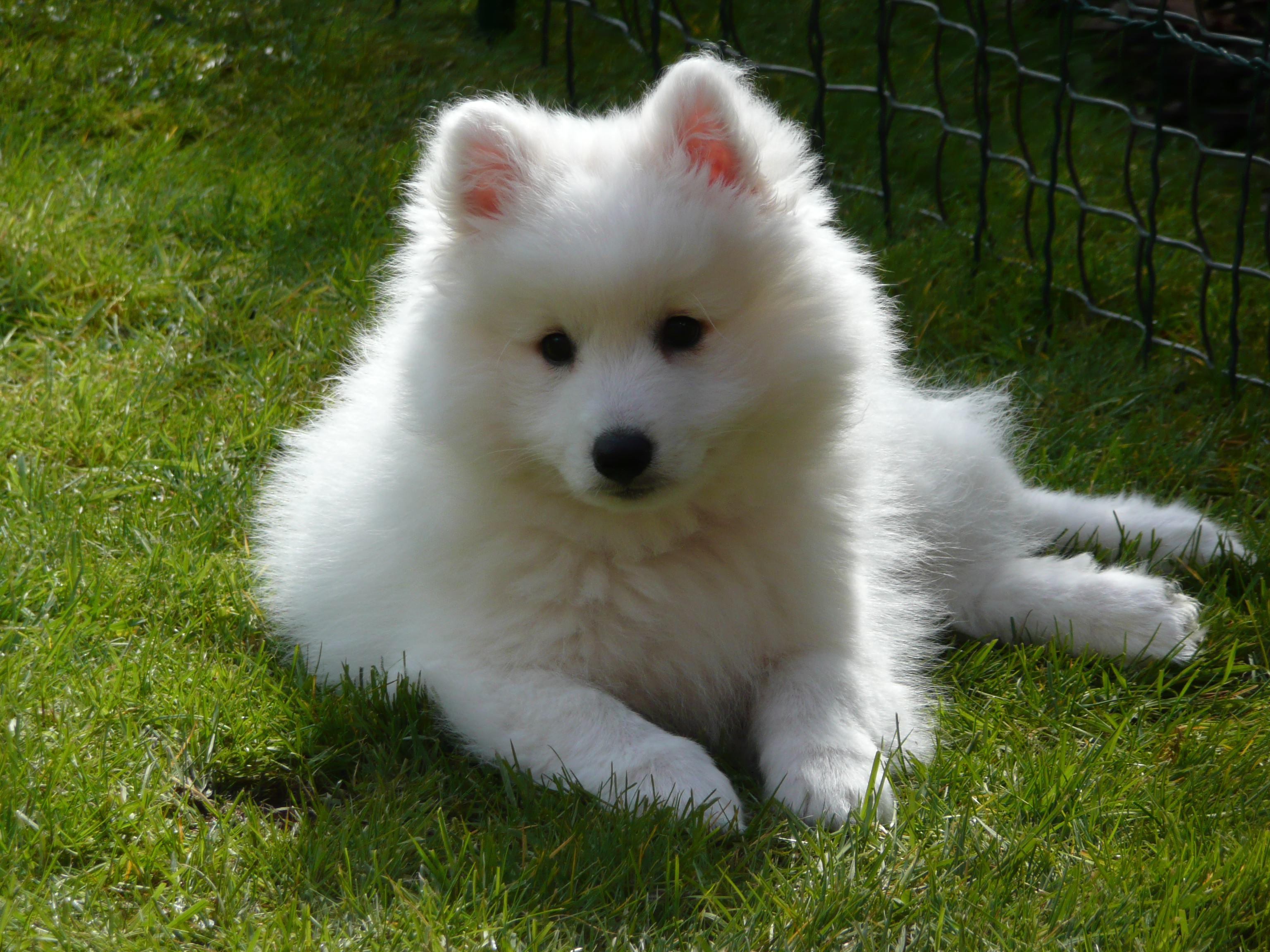 Spitz on the grass photo and wallpaper. Beautiful Japanese Spitz ...