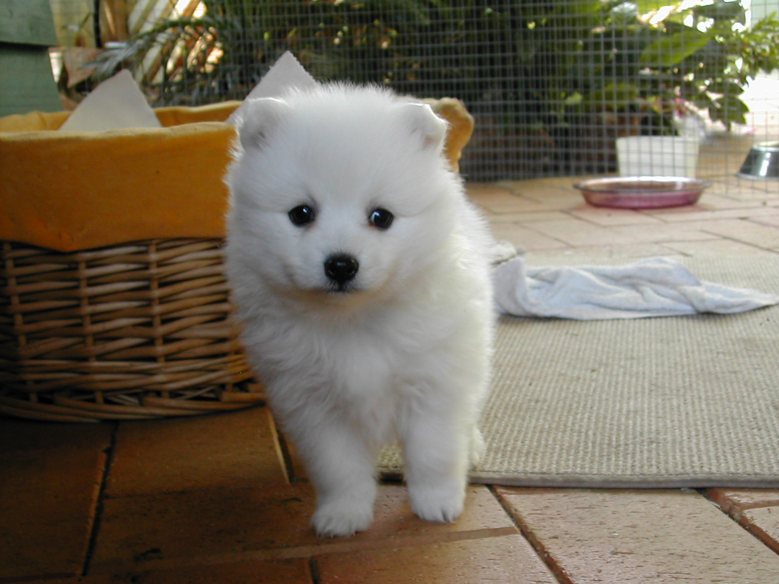 Samoyed pomeranian mix