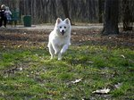 Japanese Spitz Simba in the forest