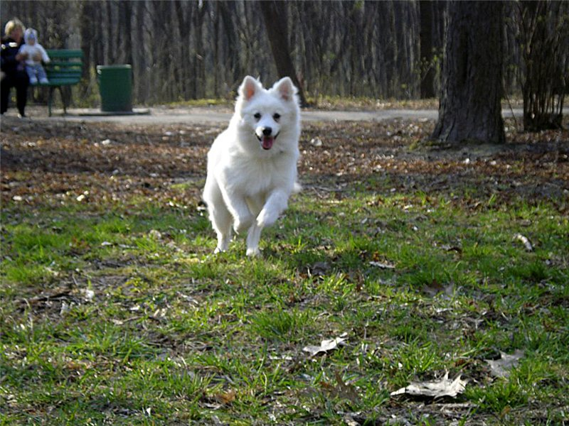 Japanese Spitz Simba in the forest wallpaper