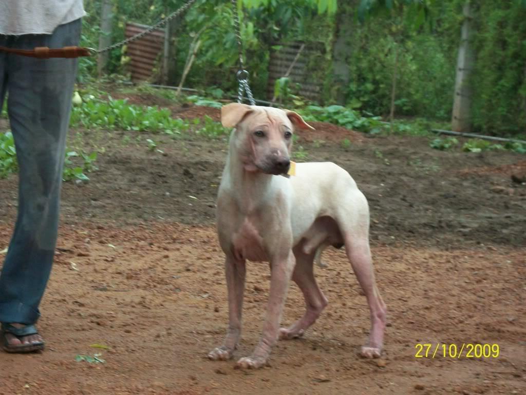 Jonangi dog with the owner wallpaper
