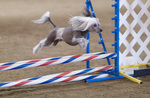 Jumping Chinese Crested dog