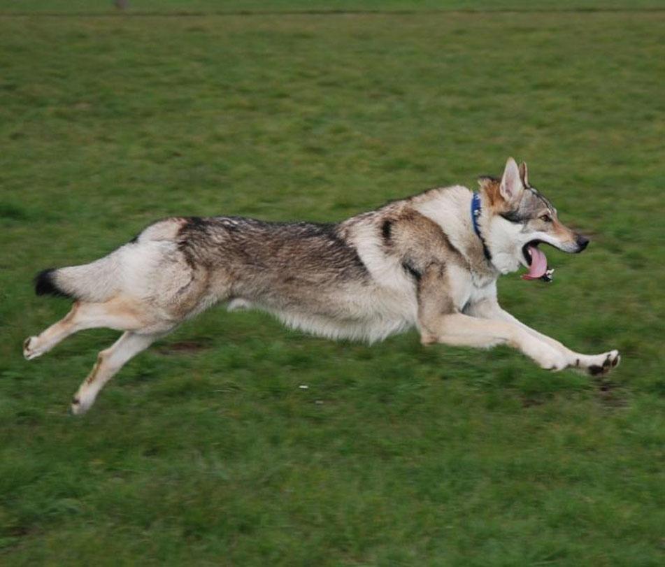 Чехословацкая волчья собака прыгает фото