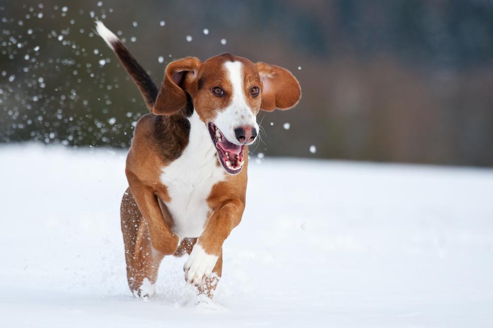Jumping Deutsche Bracke dog wallpaper