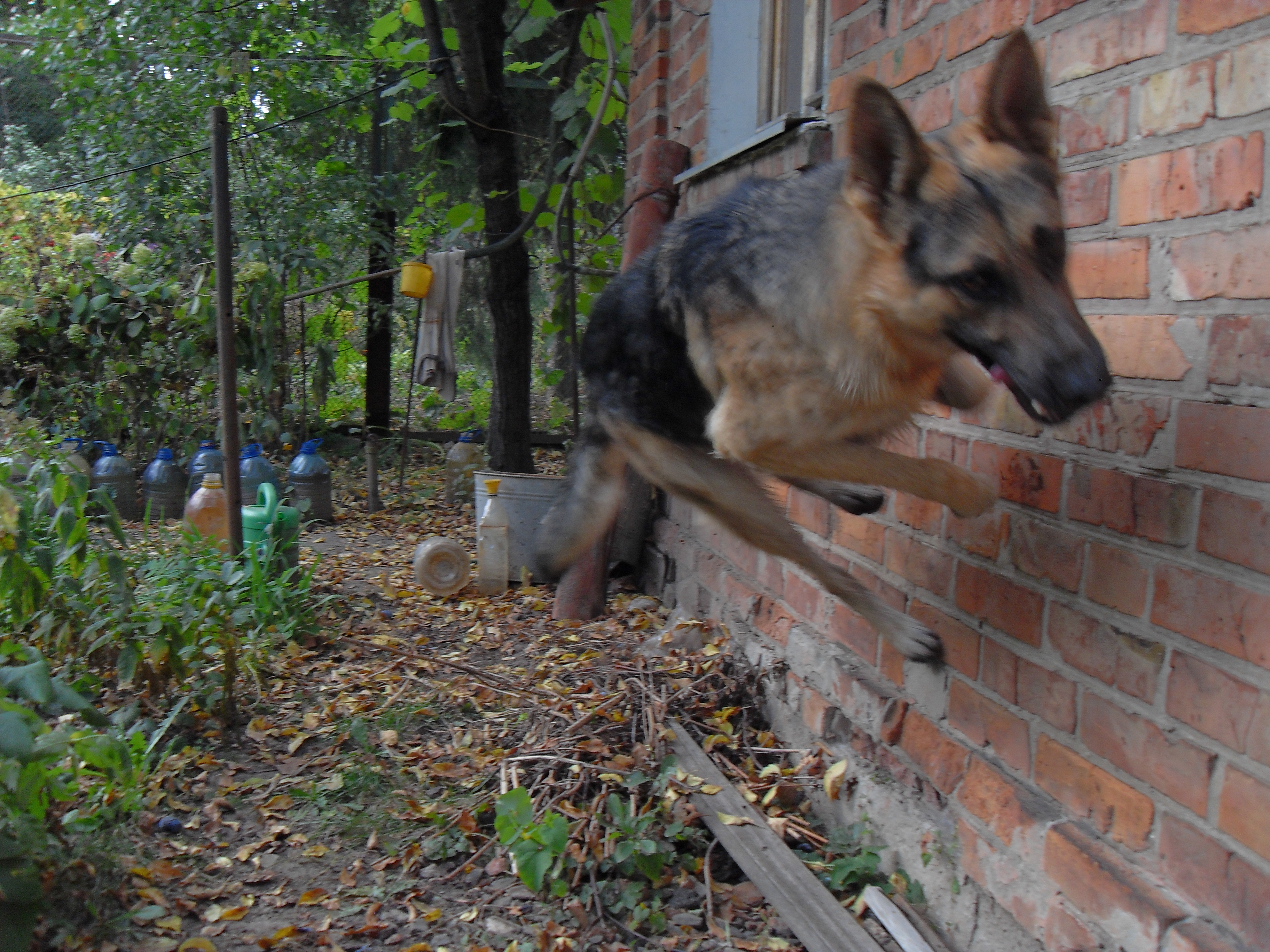 Jumping East-European Shepherd dog wallpaper